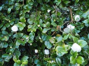 Camellia x williamsii 'Jovey Carlyon'