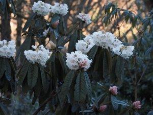 Rhododendron grande seedling
