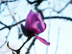 Magnolia 'Bishop Peter'