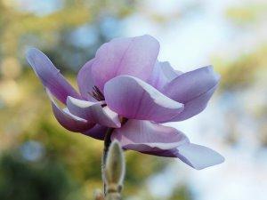 Magnolia sprengeri 'Copeland Court'