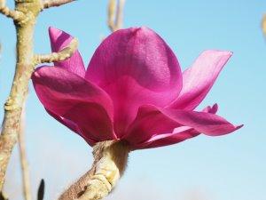 Magnolia campbellii subsp. mollicomata 'Werrington'