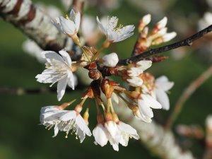Prunus conradinae