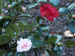 Camellia 'Debutante' and Camellia 'Adolphe Audusson'