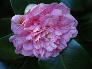 Camellia 'Duchess Decaze'