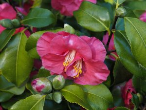 Camellia 'Lady Saumarez'