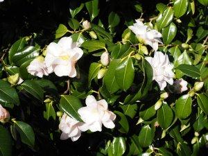 Camellia 'Magnoliaflora'
