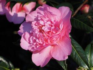Camellia x williamsii 'Mary Phoebe Taylor'