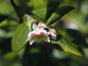 Atherosperma moschatum