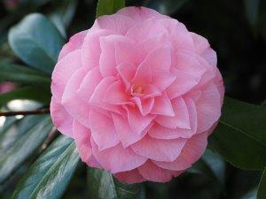 Camellia 'Chatsworth Belle'