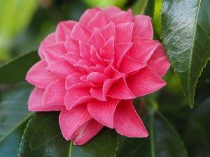 Camellia 'Spring Formal'