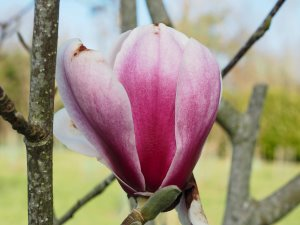 Magnolia 'Hot Lips'