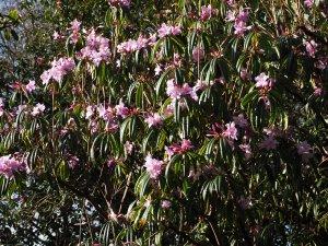 Rhododendron stenaulum