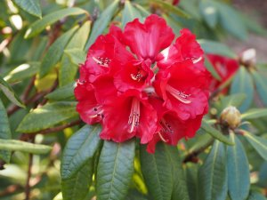 Rhododendron 'Choremia'