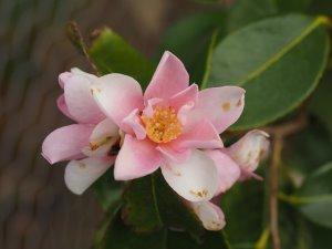 Camellia sasanqua 'Yume'