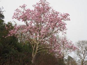 Magnolia 'Caerhays Belle' seedling