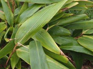 Indocalamus tesselatus