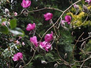 Magnolia 'F J Williams'