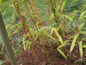 Phyllostachys aurea 'Koi'