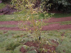 Phyllostachys bambusoides 'Castellonii Inversa'