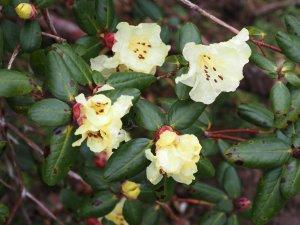 Rhododendron sulphureum