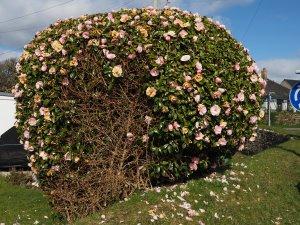 Camellia x williamsii 'Donation'