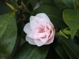 Camellia 'Morning Mist'