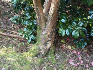 dead snakebark maple