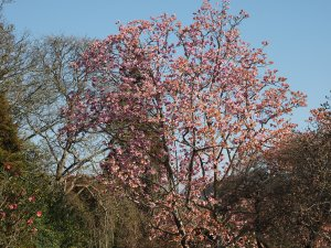 magnolia on from the Rockery