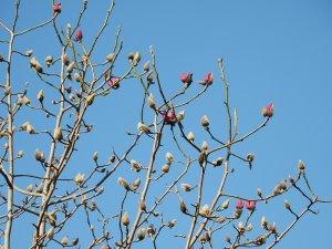 Magnolia 'Betty Jessel'