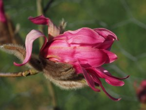 Magnolia sprengeri 'Dusty Pink'