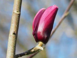 Magnolia 'Pickard's Ruby' x 'F J Williams'