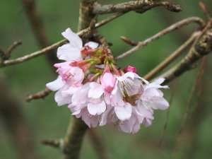 Prunus nipponica var. kurilensis 'Brilliant'