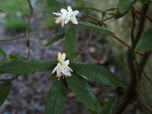 Rhododendron scabrifolium var. scabrifolium
