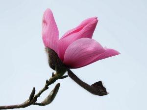 Magnolia 'Pink Sensation'