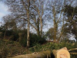 elderly beech trees