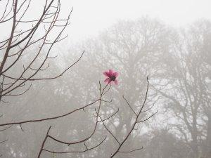 Magnolia campbellii and Magnolia 'F J Williams'