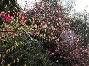 Corylopsis spicata and Camellia x williamsii 'Brigadoon'