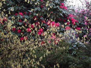 Corylopsis spicata and Rhododendron 'Cornish Red'