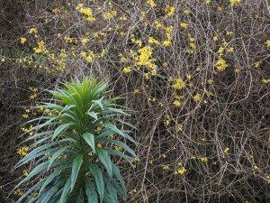 Echium pininana and Forsythia x intermedia 'Lynwood'