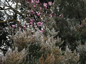 Erica arborea showing a little frost damage and Magnolia 'Caerhays Belle'