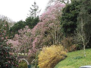Magnolia 'Caerhays Belle' and Forsythia x intermedia 'Lynwood'