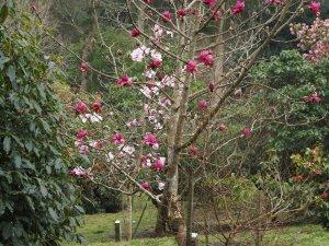 Magnolia campbellii 'Darjeeling' and Magnolia 'Caerhays Belle'