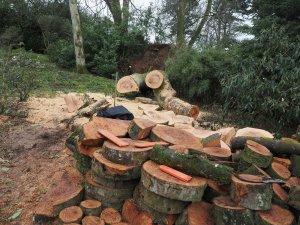 beech tree trunk