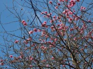 Magnolia 'Kew Surprise'