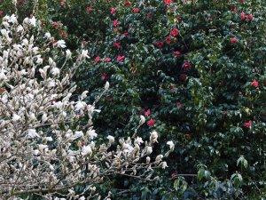 Magnolia x loebneri 'Merrill' and Camellia japonica