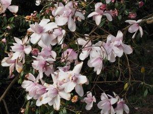 Magnolia 'Charles Raffill'