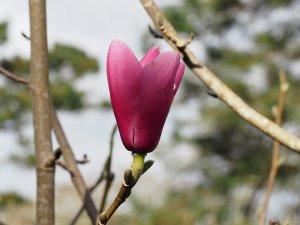 Magnolia sprengeri 'Diva Westonbirt'