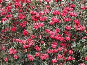 Rhododendron arboreum ssp. zaylanicum (?)