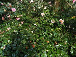 Camellia x williamsii 'Burncoose Apple Blossom'