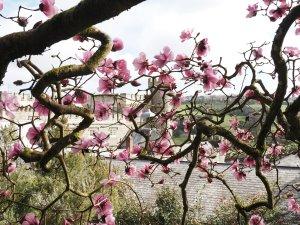 Magnolia 'Caerhays Belle'